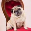 犬撮影スタジオの写真 パグ