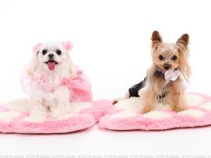 犬撮影スタジオの写真 マルチーズ・ヨーキー