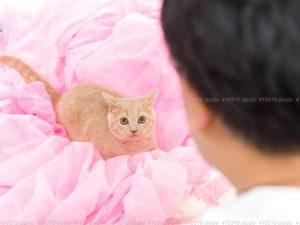 猫撮影スタジオの写真 ブリティッシュショートヘアー