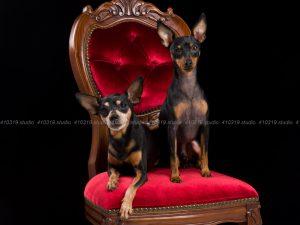 犬撮影スタジオの写真 ミニチュアピンシャー