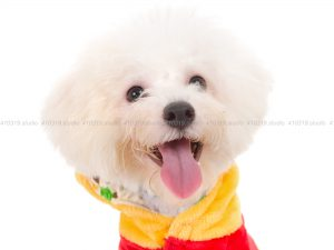 犬撮影スタジオの写真 ビションフリーゼ
