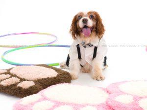 犬撮影スタジオの写真 キャバリア