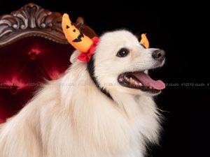 犬撮影スタジオの写真 ポメラニアン