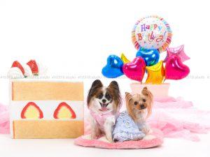 犬撮影スタジオの写真 ヨーキー・パピヨン