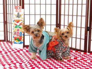 犬撮影スタジオの写真 ヨークシャーテリア