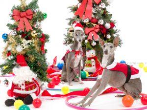 犬撮影スタジオの写真 イタリアングレーハウンド