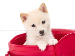 犬撮影スタジオの写真 豆柴