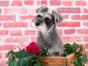 犬撮影スタジオの写真 ミニチュアシュナウザー