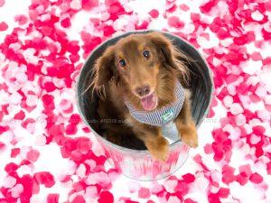 犬撮影スタジオの写真 ミニチュアダックス