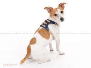 犬撮影スタジオの写真 ジャックラッセルテリア