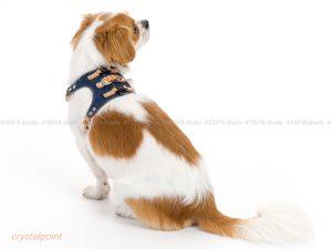 犬撮影スタジオの写真 チベタンスパニエル