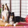 犬撮影スタジオの写真 シェットランドシープドッグ