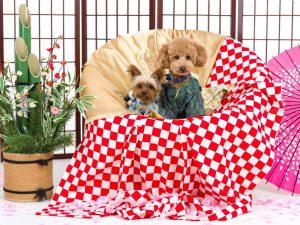 犬撮影スタジオの写真 トイプードル ヨークシャーテリア