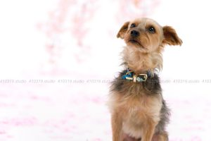 犬撮影スタジオの写真 ヨーキー