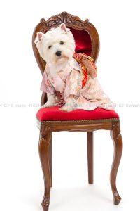 犬撮影スタジオの写真 ウエストハイランドホワイトテリア