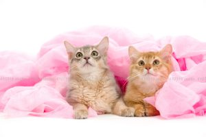 猫撮影スタジオの写真 ソマリ