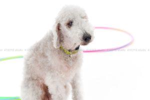 犬撮影スタジオの写真 ベドリントンテリア