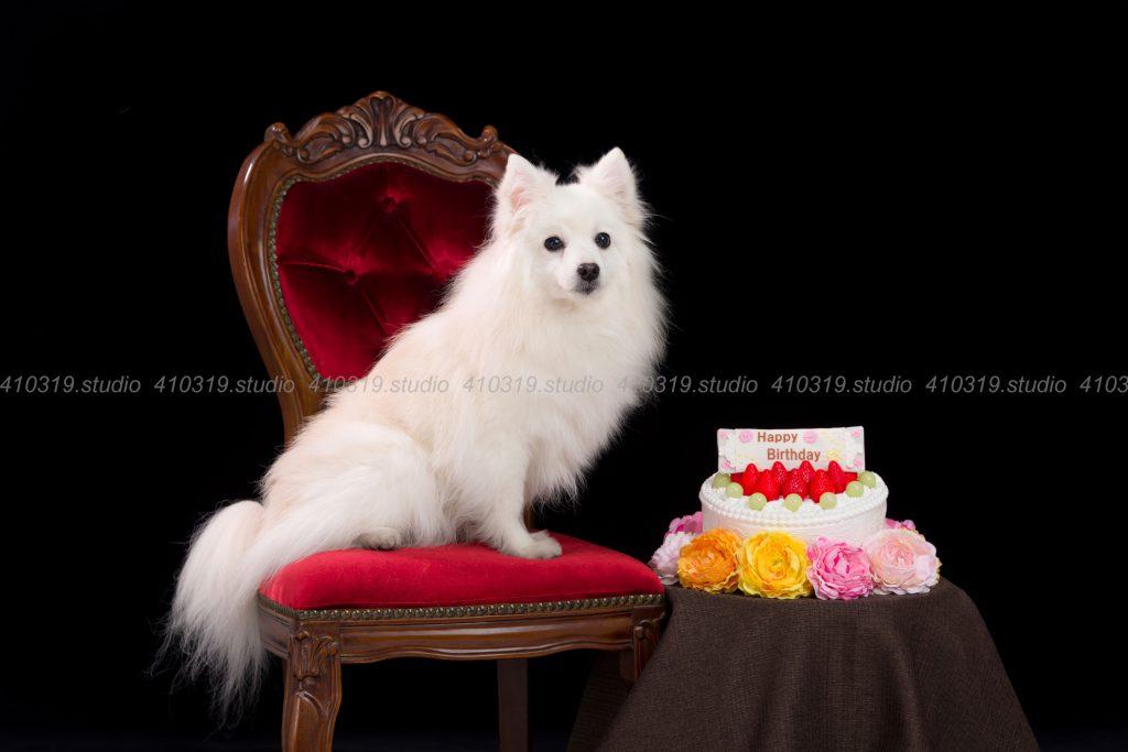 犬撮影スタジオの写真 スピッツ