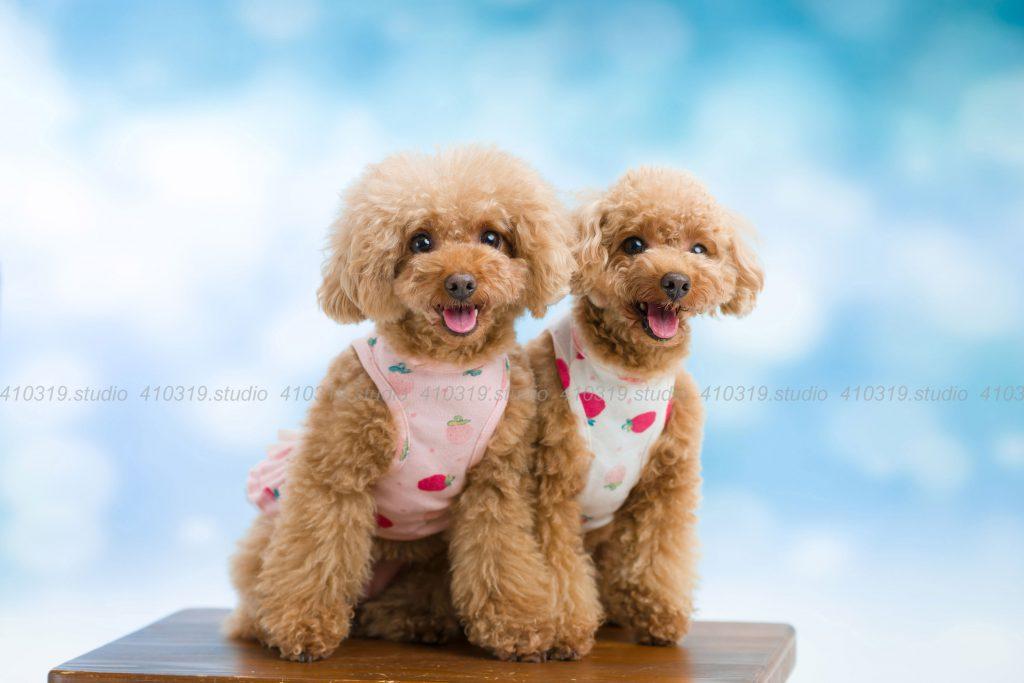 犬撮影スタジオの写真 トイプードル
