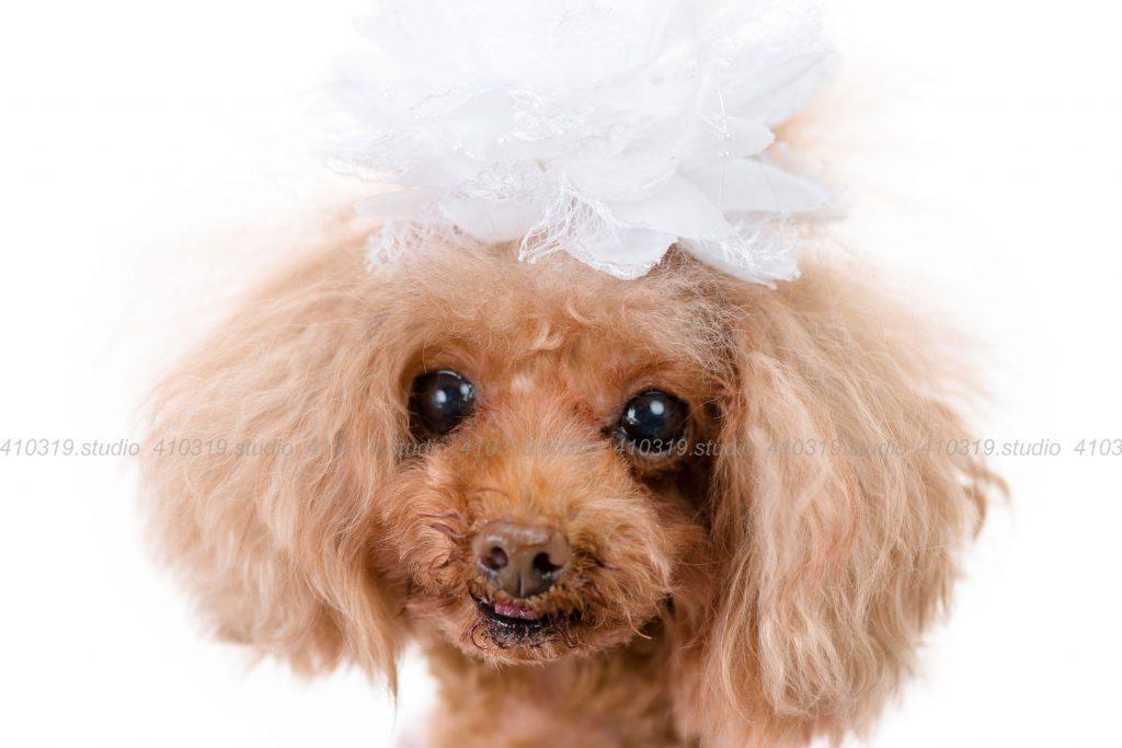 犬撮影スタジオの写真 ティーカッププードル