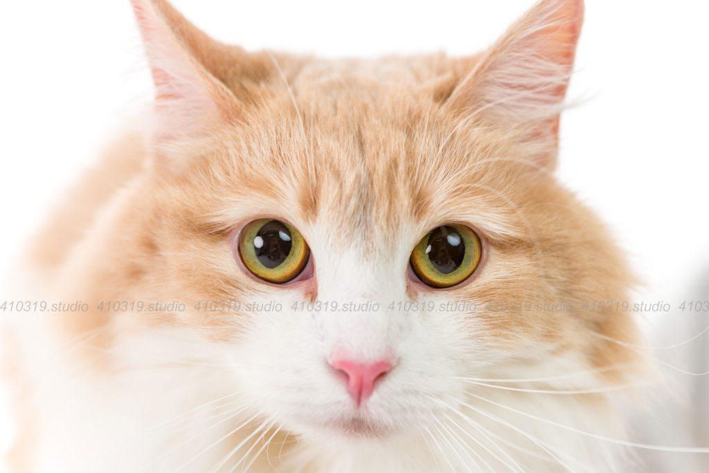 猫撮影スタジオの写真 ノルウェージャンフォレストキャット