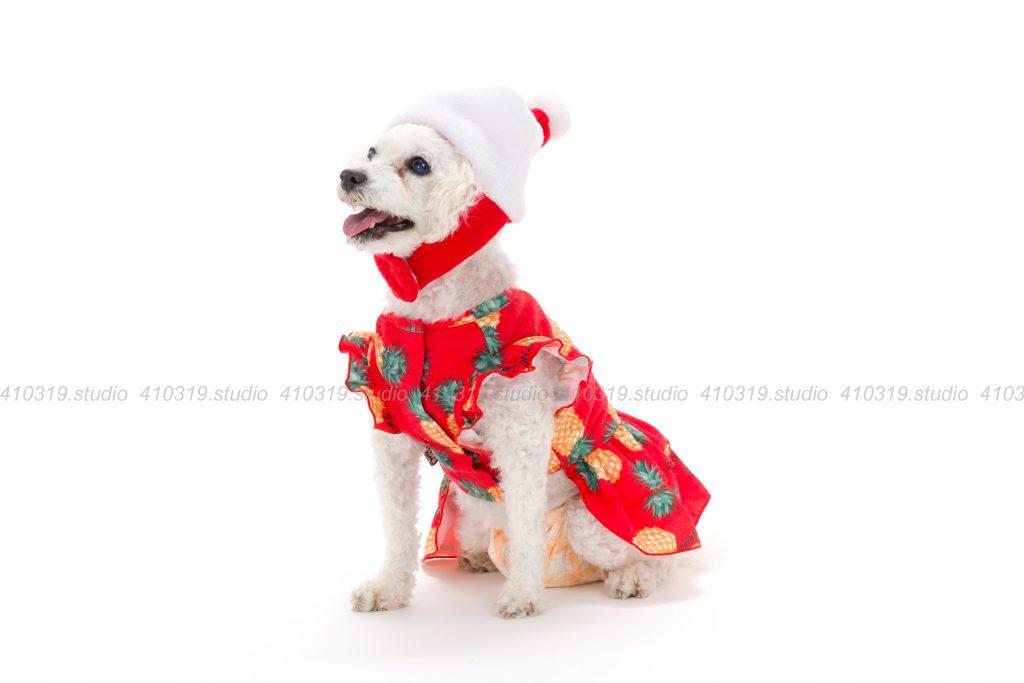 犬撮影スタジオの写真 マルプー