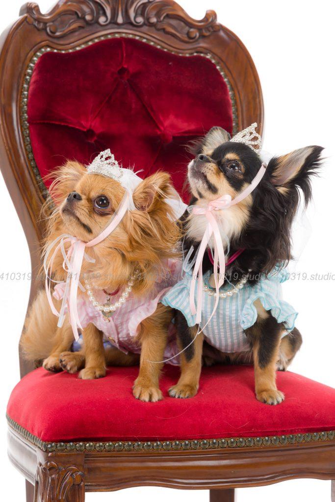 犬撮影スタジオの写真 チワワ