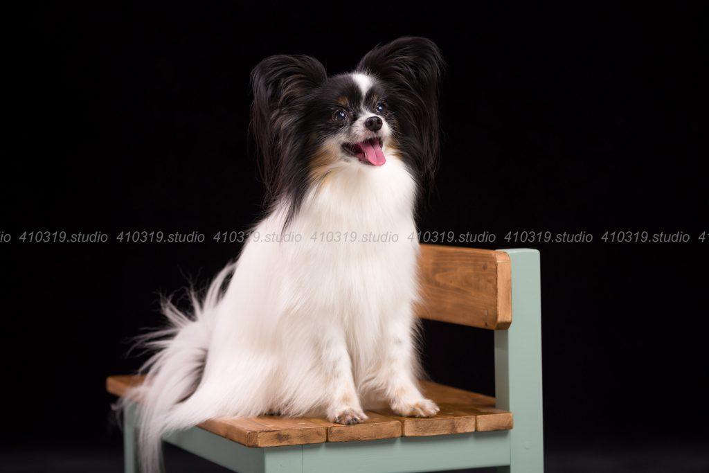 犬撮影スタジオの写真 パピヨン,トイプードル