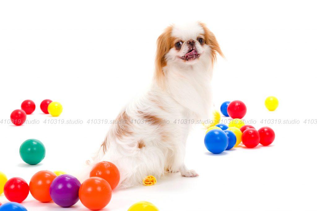 犬撮影スタジオの写真 ミニチュアダックス,狆