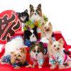 犬撮影スタジオの写真 パピヨン ヨーキー チワワ