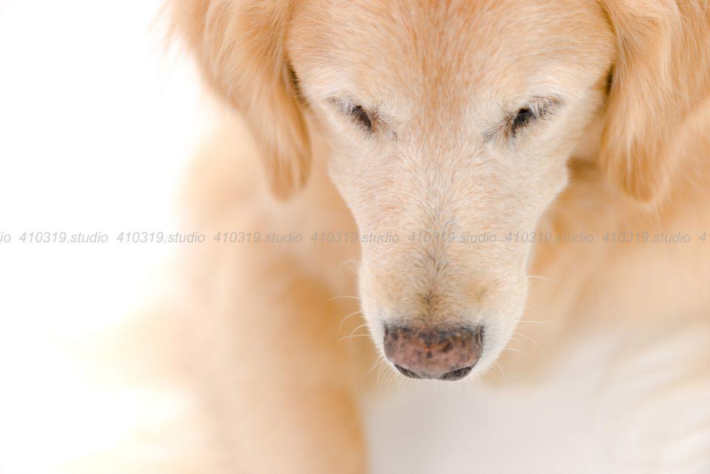 犬撮影スタジオの写真 ゴールデンレトリーバー