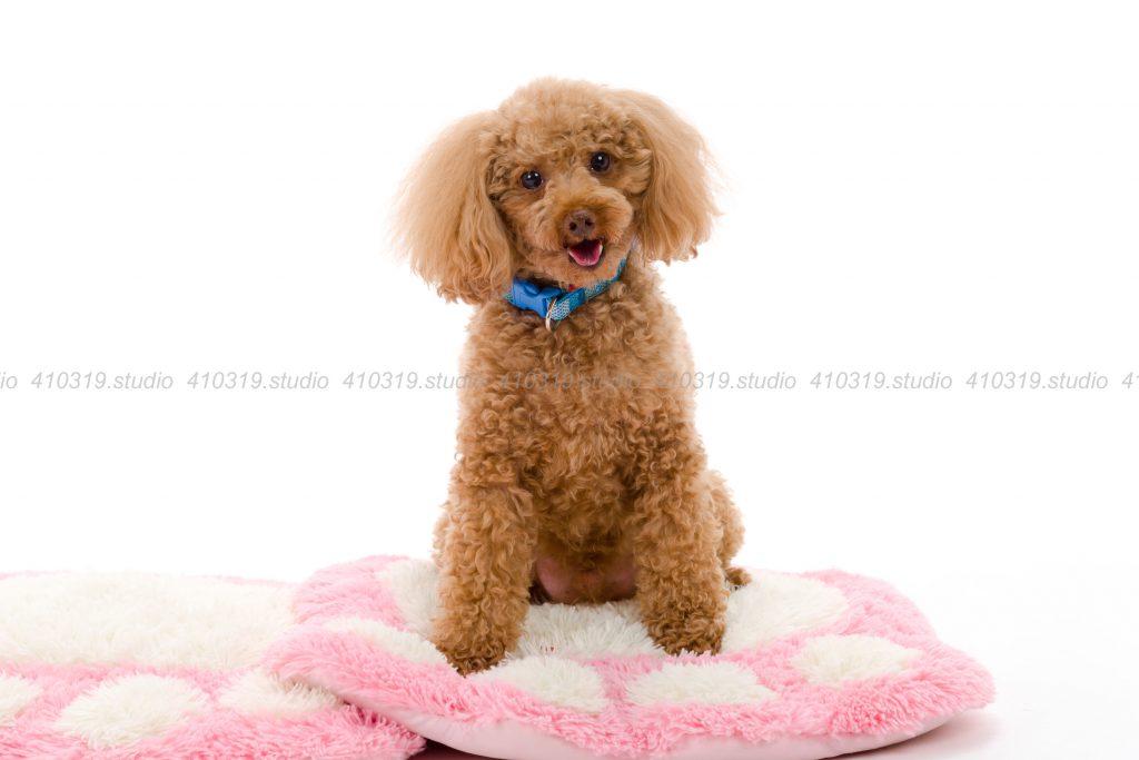 犬撮影スタジオの写真 ヨーキー トイプードル