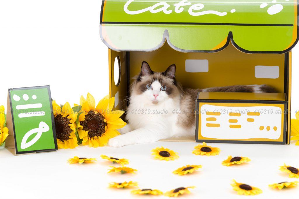 犬猫ペットご家族の写真撮影スタジオ ラグドールとご家族 /410319.studio