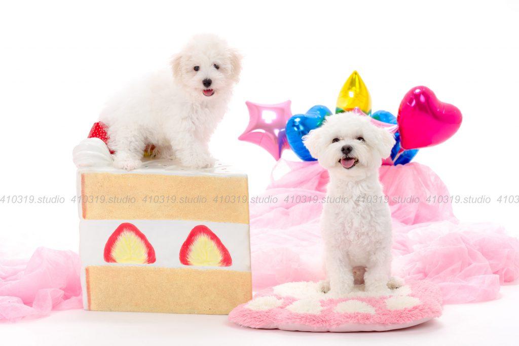 犬撮影スタジオの写真 ミックス(マルxビジョン)とビジョン