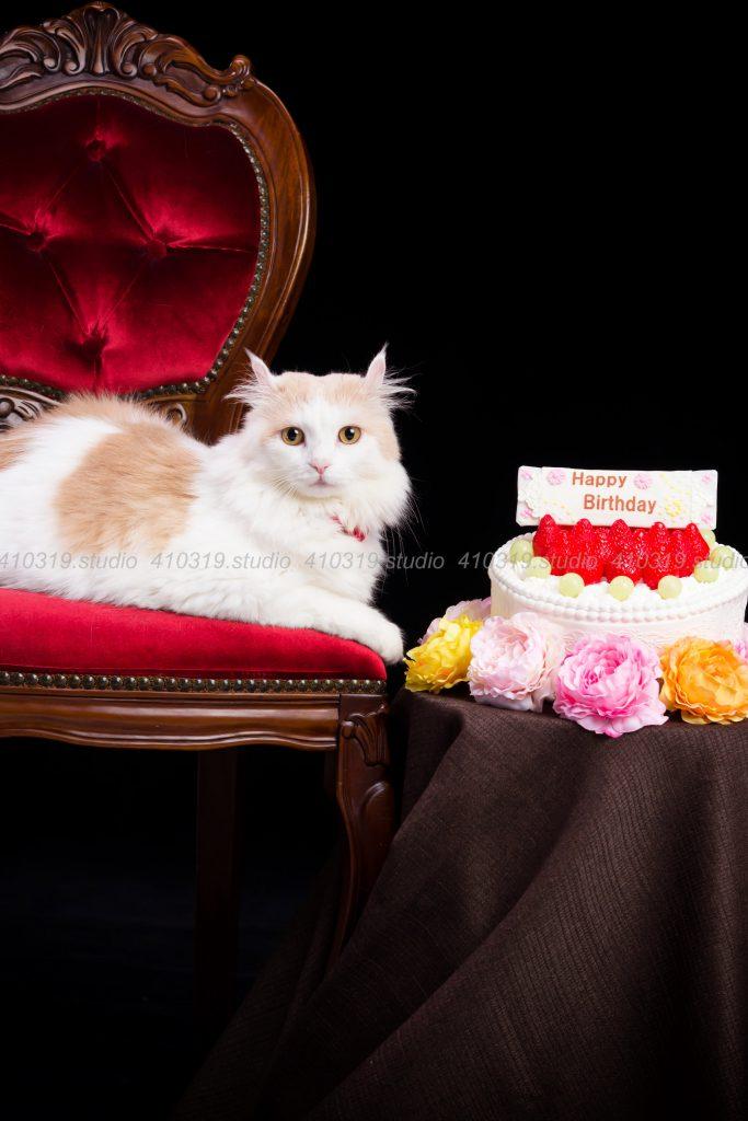 猫撮影スタジオの写真 アメリカンカール と 日本猫