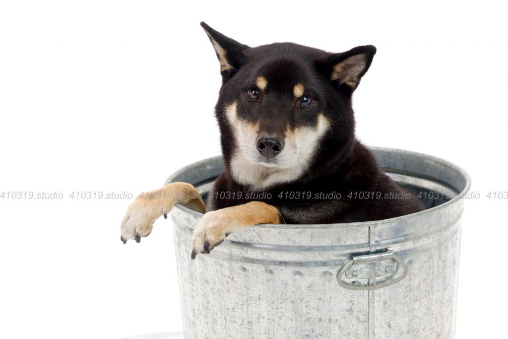犬撮影スタジオの写真 柴犬