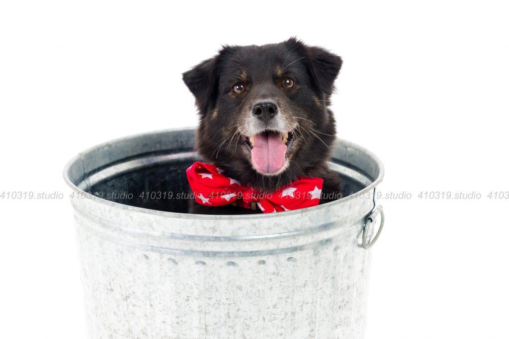 犬撮影スタジオの写真 ミックス犬(柴犬xラブ)
