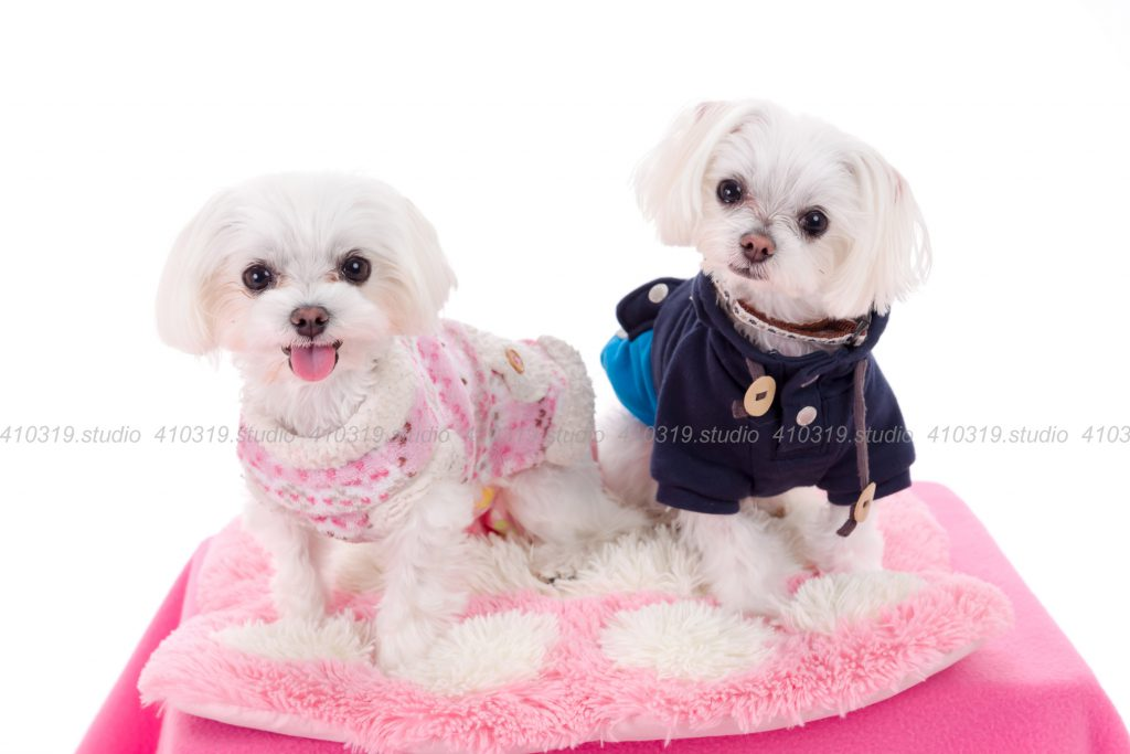 犬撮影スタジオの写真 マルチーズとヨーキー