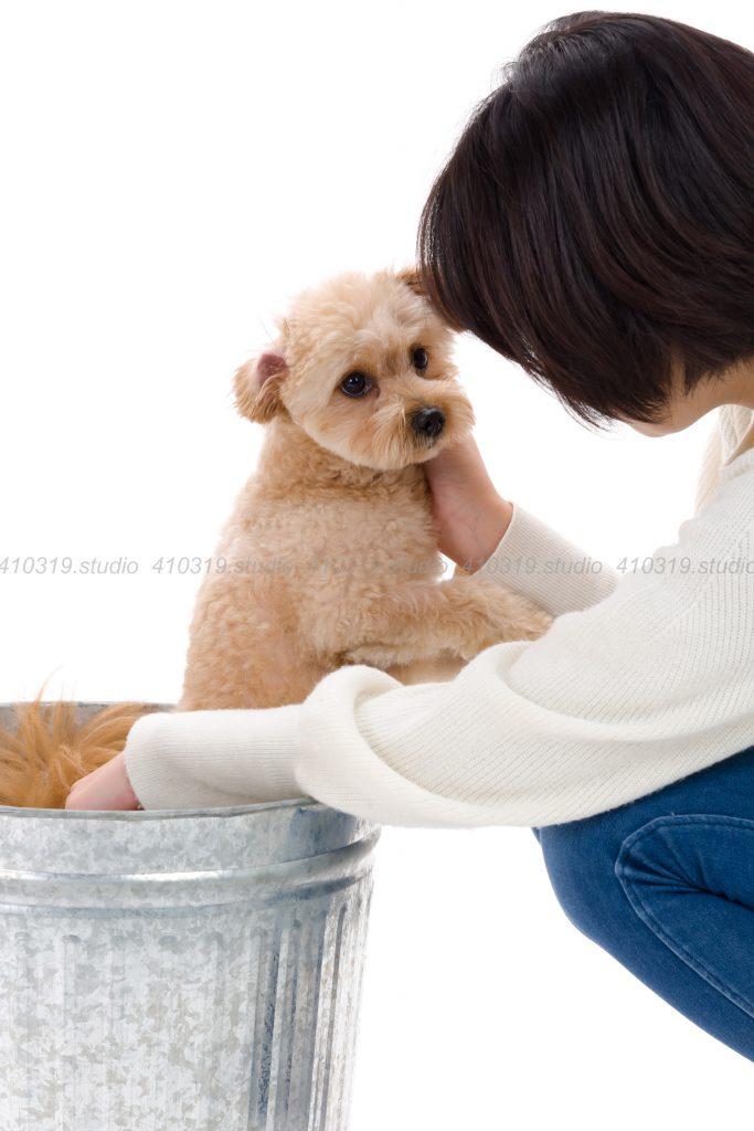 犬撮影スタジオの写真 マルポメ