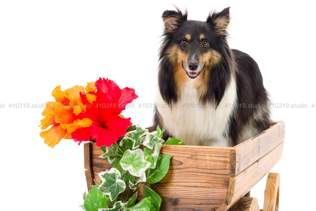 犬撮影スタジオの写真 シェルティー