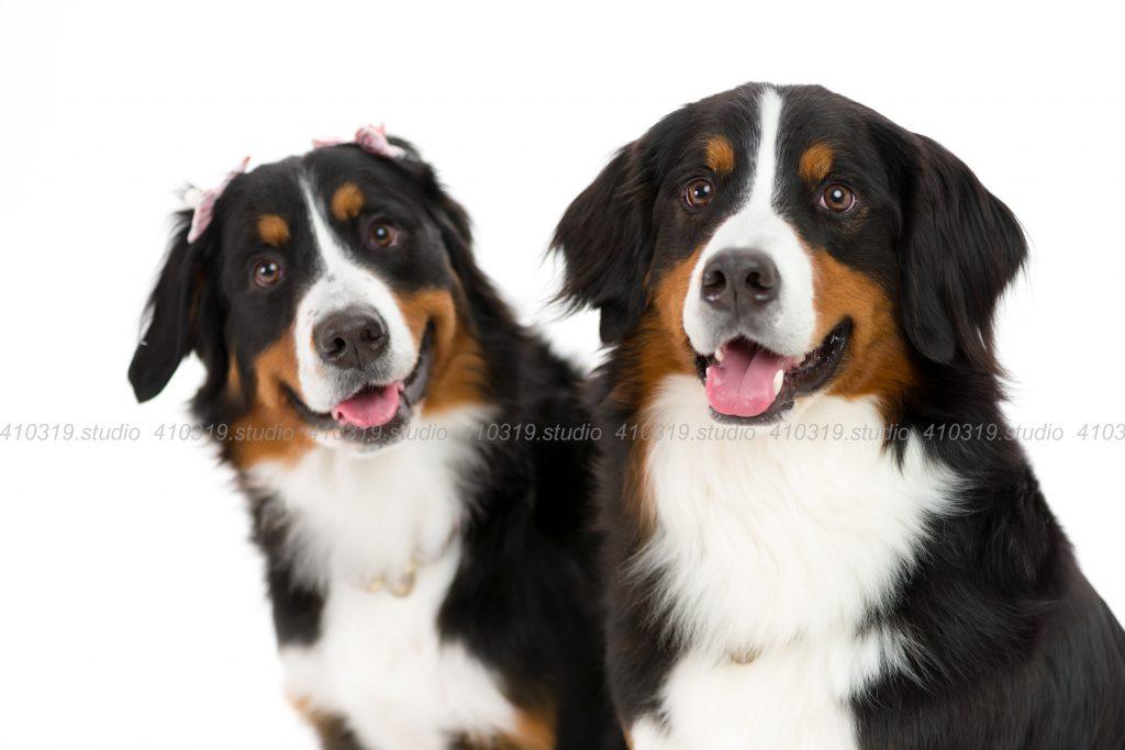 犬撮影スタジオの写真 バーニーズ