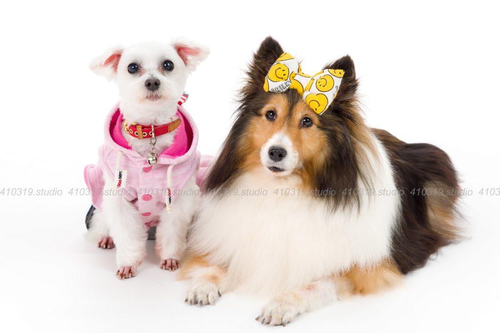犬撮影スタジオの写真 マルチーズ シェルティー