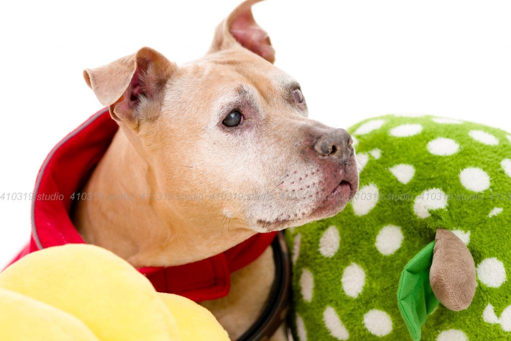 犬撮影スタジオの写真 ピットブル