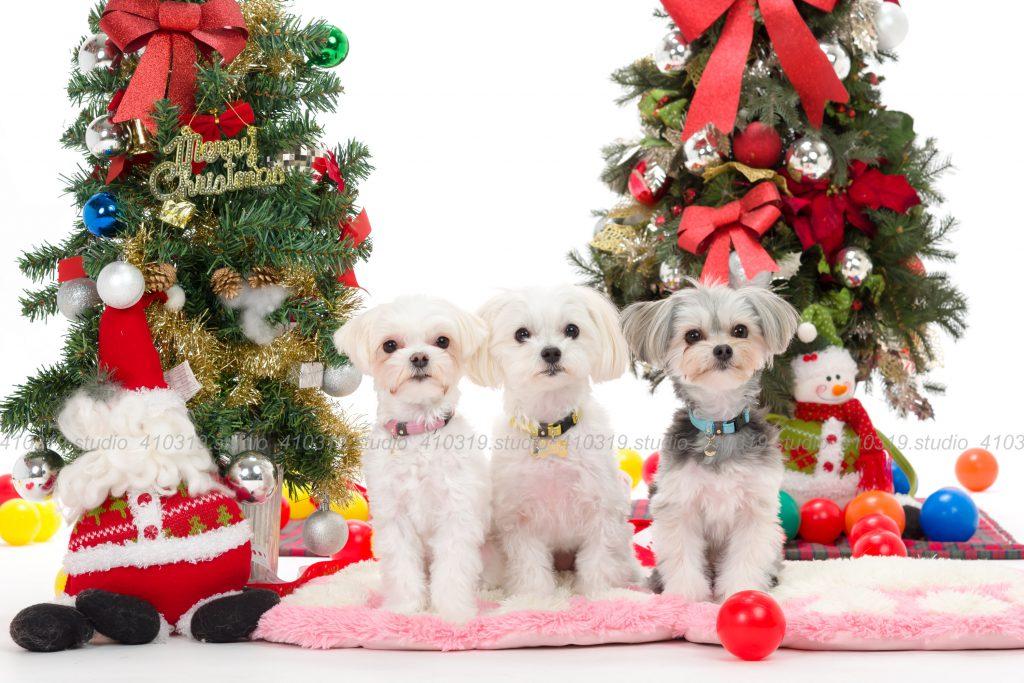 犬撮影スタジオの写真 マルチーズ ミックス犬