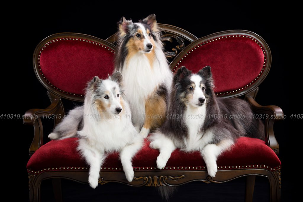 犬撮影スタジオの写真 シェルティ