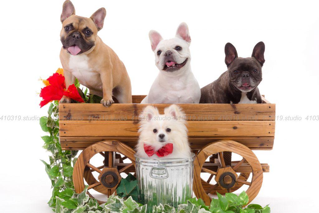 犬撮影スタジオの写真 ポメラニアン フレンチブルドッグ