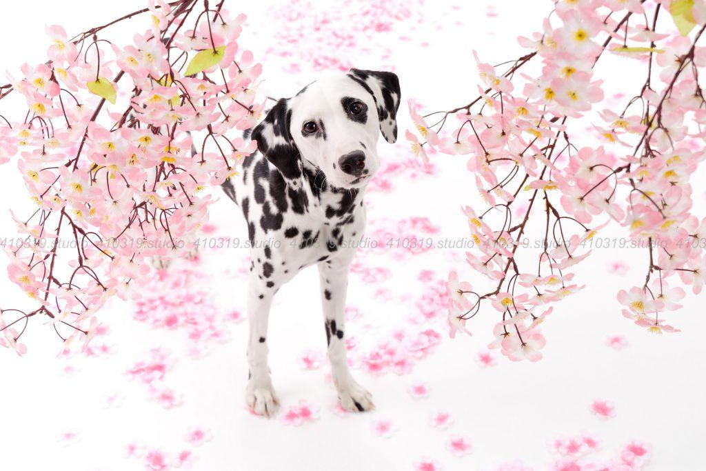 犬撮影スタジオの写真 ダルメシアン
