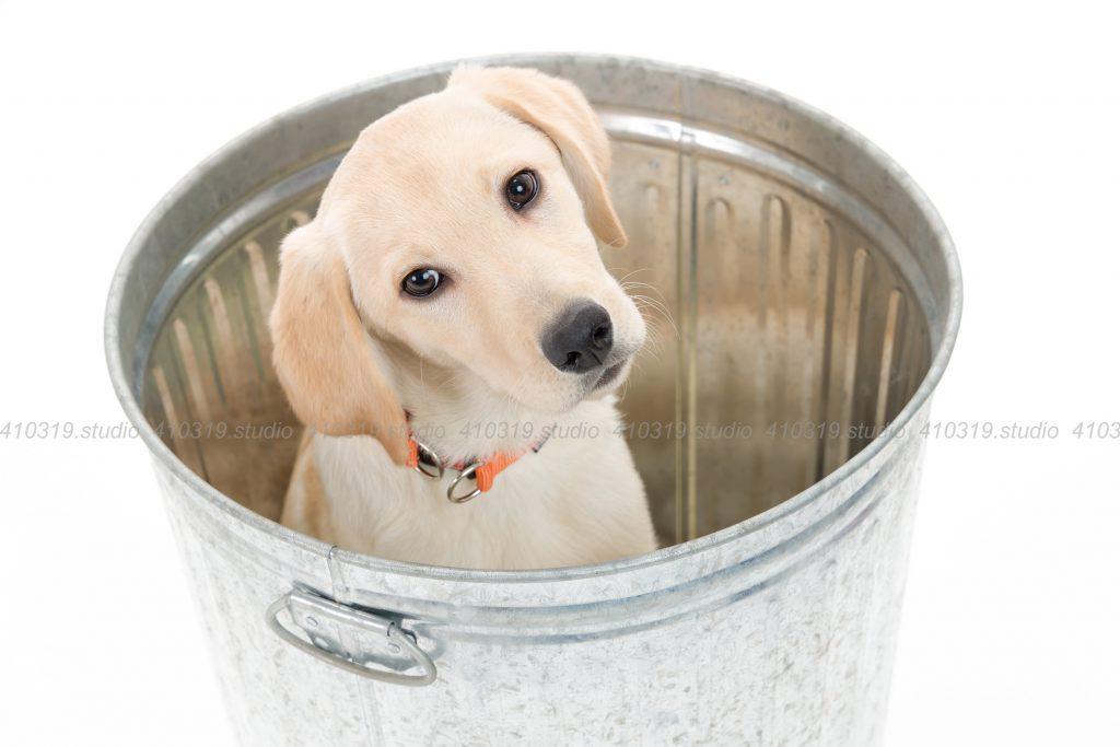 犬撮影スタジオの写真 ラブラドールレトリーバー