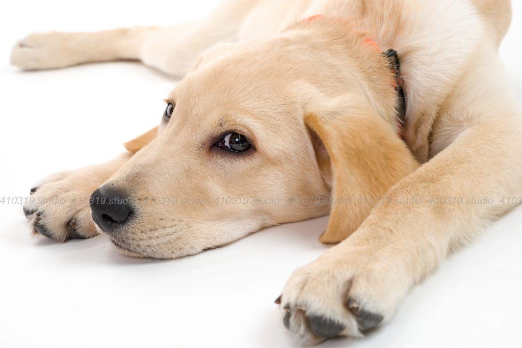 犬撮影スタジオの写真 ラブラドールレトリー