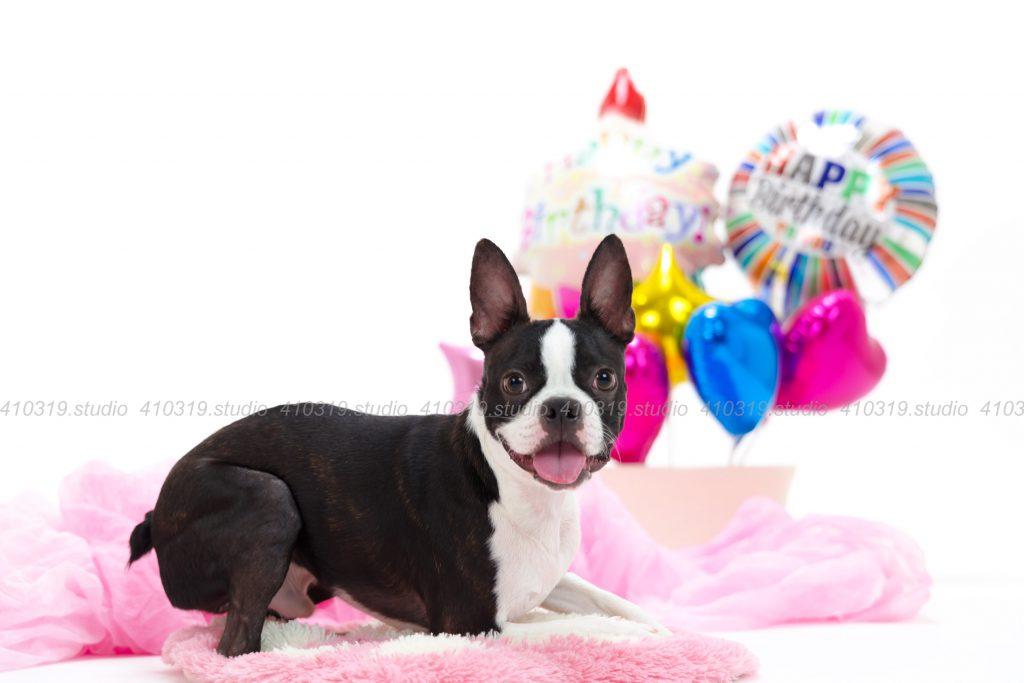 犬撮影スタジオの写真 ボストンテリア